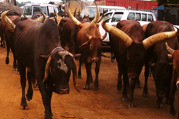 Zebu cattle in Juba