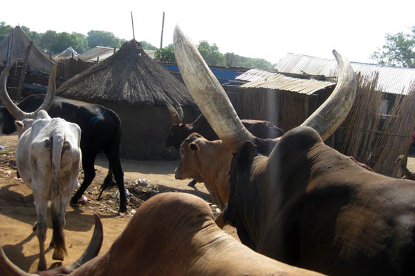 Cattle in Juba