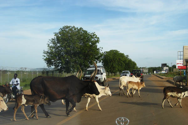 Cattle in Juba, South Sudan