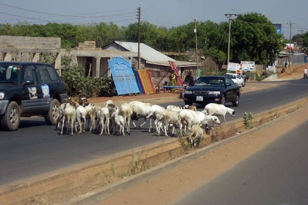 Goats in Juba, South Sudan