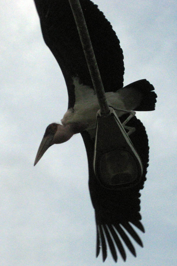 A stork in Juba, South Sudan