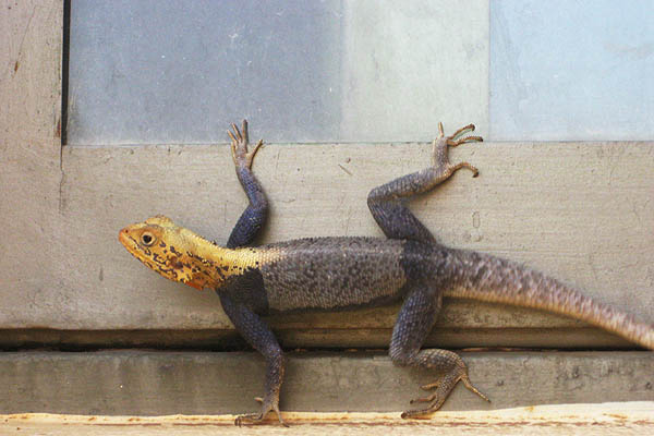 Agama lizard in Juba, South Sudan