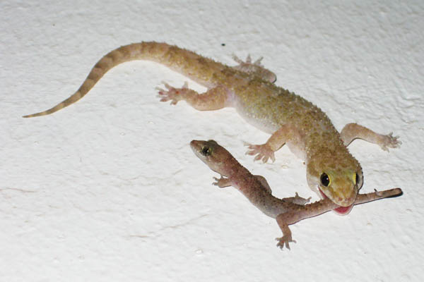 Geckos in Juba, South Sudan