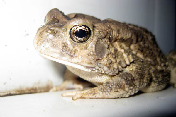 Toad in Juba, South Sudan