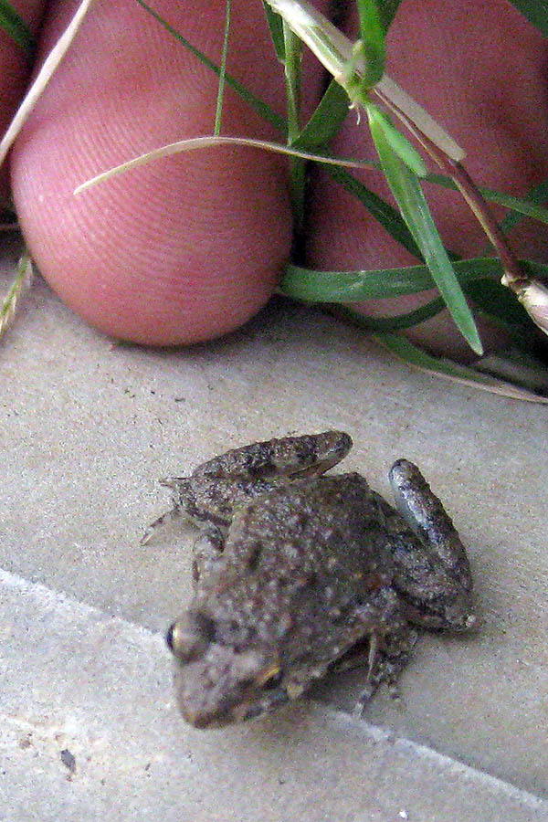 Tiny toad in Juba, South Sudan