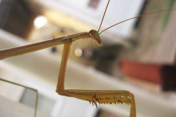 Mantis in Juba, South Sudan