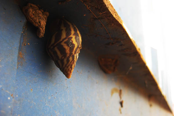 Snail in Juba, South Sudan