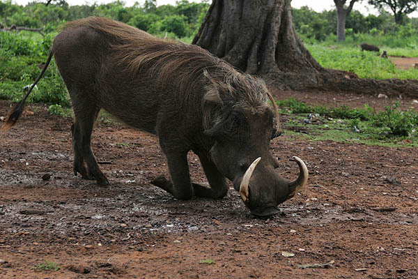Warthog in Mole National Park, Ghana