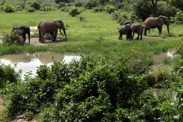 Savannah elephants in Mole National Park, Ghana