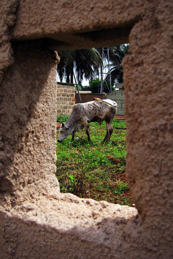 Cows outside the MSF Daloa office