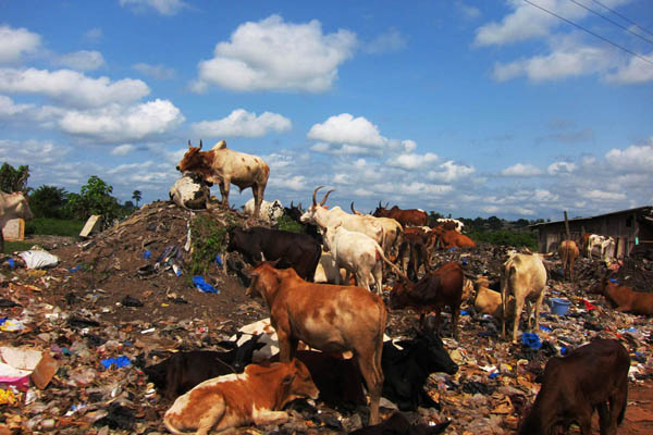 Cows on the Guiglo garbage heap