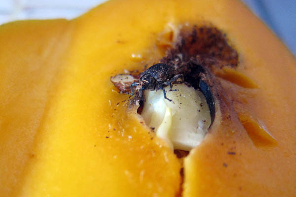 The mango beetle climbs out of my mango