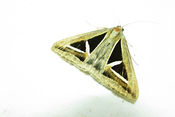 Triangular moth