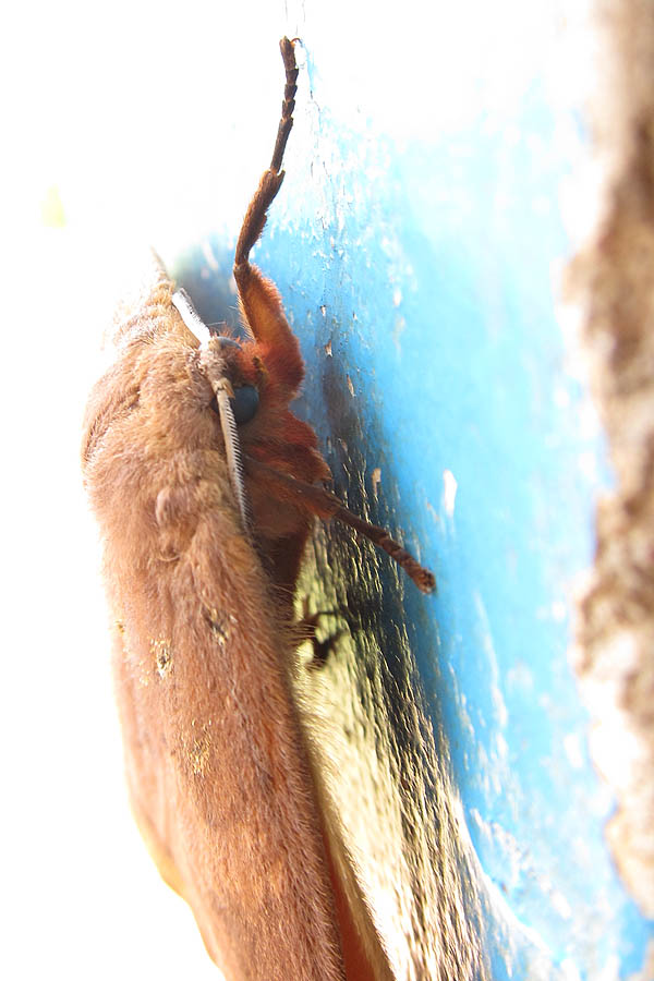Blue-eyed big brown moth