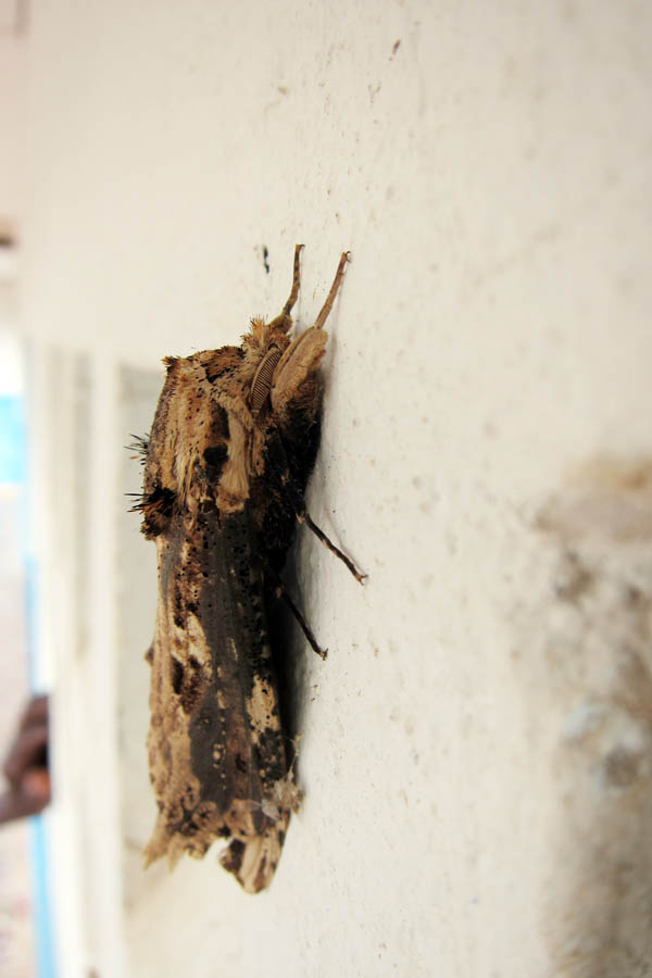 Woodchip moth, side view