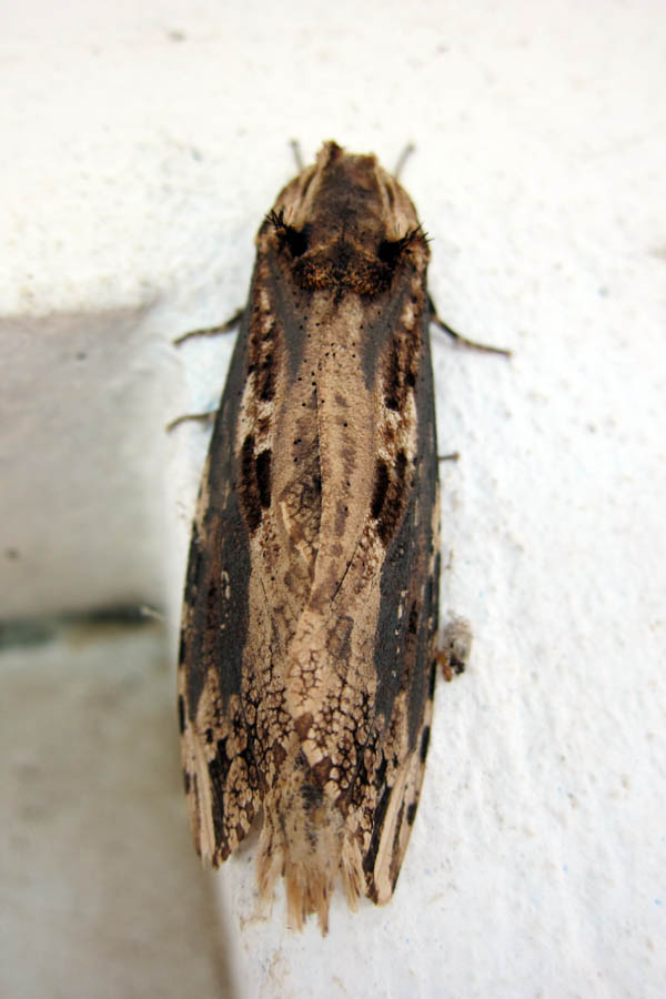 Woodchip moth, top view