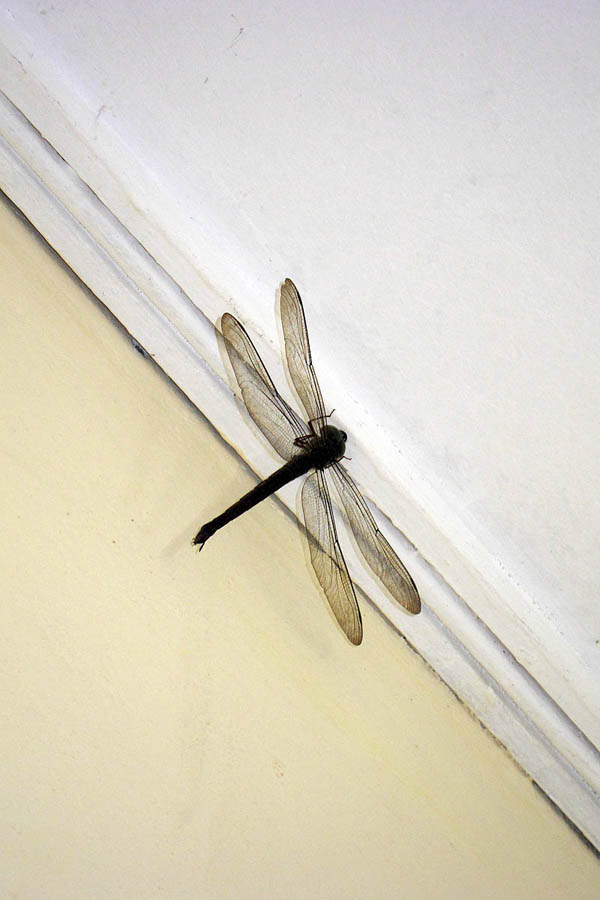 House dragon fly