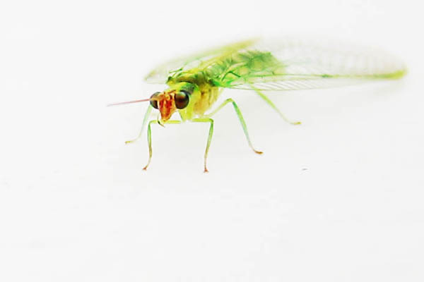 Curious green fly