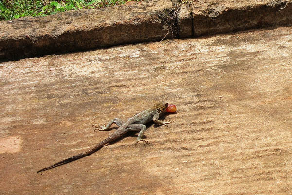 Female agama lizard eating a grape