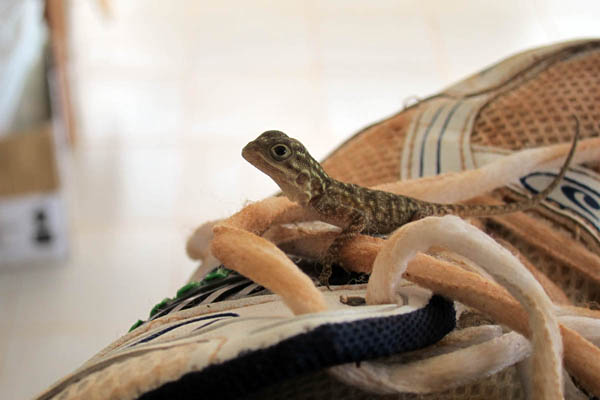 Little lizard caught on a shoe