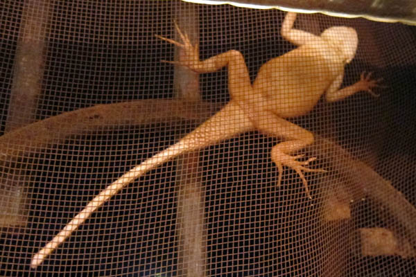 Lizard on the window screen