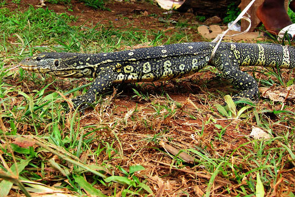 Ornate monitor lizard