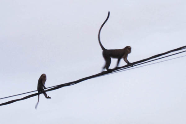 Vervet monkeys, Taï