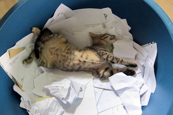 Astrophe, our pet cat, sleeping in our bin of documents to be burned