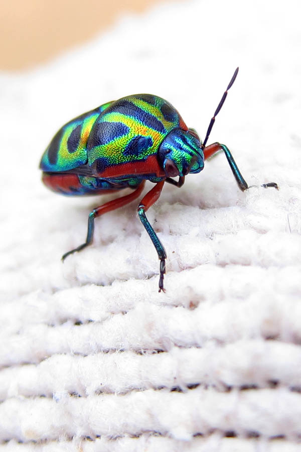 Rainbow Shield Bug in Daloa