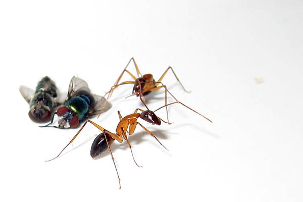 Two flies taken hostage by ants