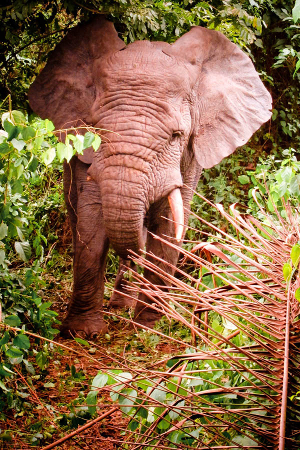 Male forest elephant, near Sapia