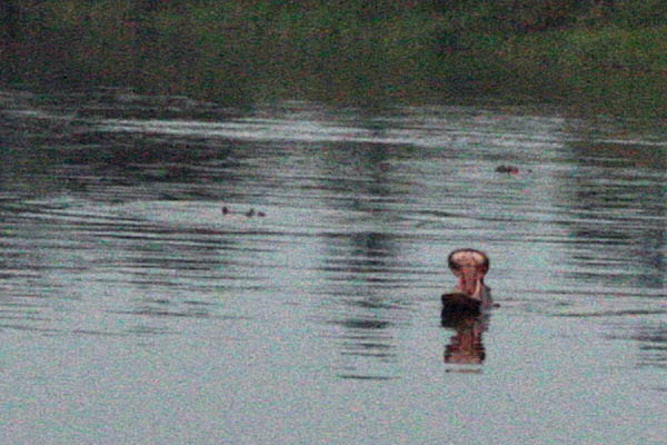 Three of the ten or so hippos we saw in Dungu River, Faradje