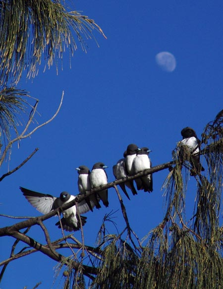 Birds in a tree, Fraser Island, Australia