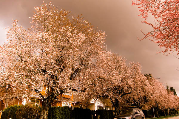 Cherry blossoms under storm clouds on 22nd Avenue