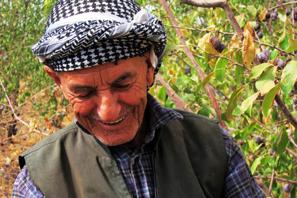 Kurdish farmer picking plums in his orchard