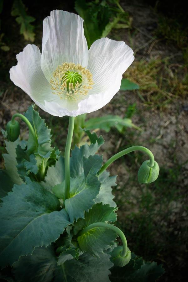 Papaver somniferum (opium poppy) in Lashkar Gah, Helmand, Afghanistan