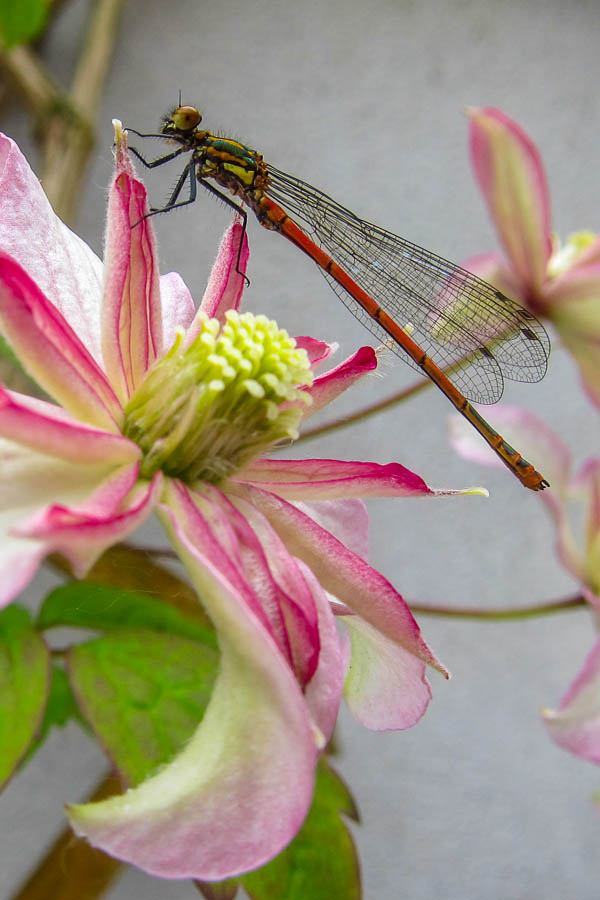 Dragonfly perched on a Clematis bloom