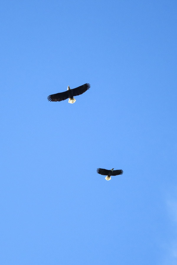 Two bald eagles circling overhead in December at Bowen Island, BC
