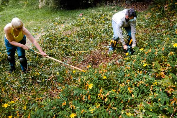 Removing Hypericum at Bowen Island