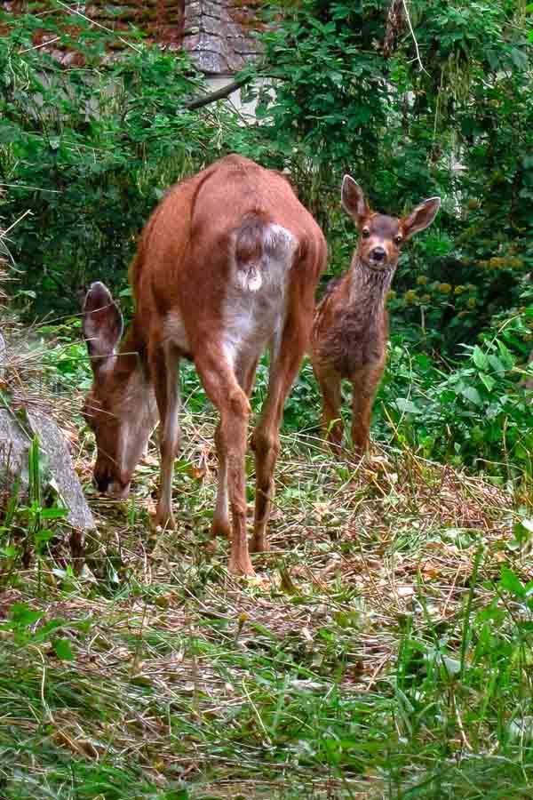 Doe and fawn at Bowen Island, BC