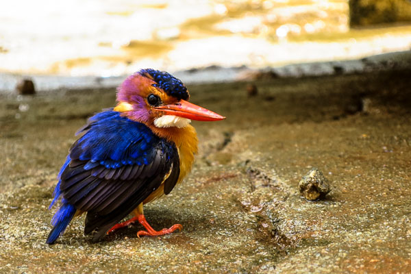 The most colourful kingfisher, Kailahun, Sierra Leone