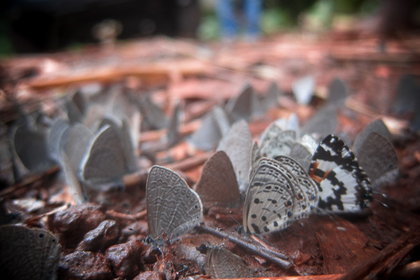 Butterflies clustered on the forest floor in the Central African Republic
