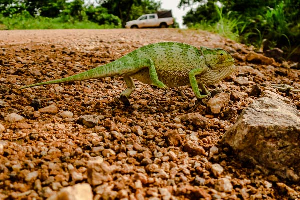 Chameleon on the road from Kankan to Kérouané, Guinea