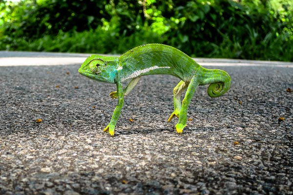 Chameleon on the road from Kankan to Conakry, Guinea