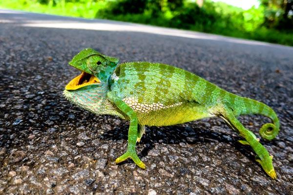 Angry chameleon