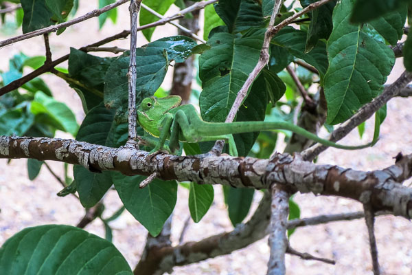 Clockwork, the clothesline chameleon, in our backyard