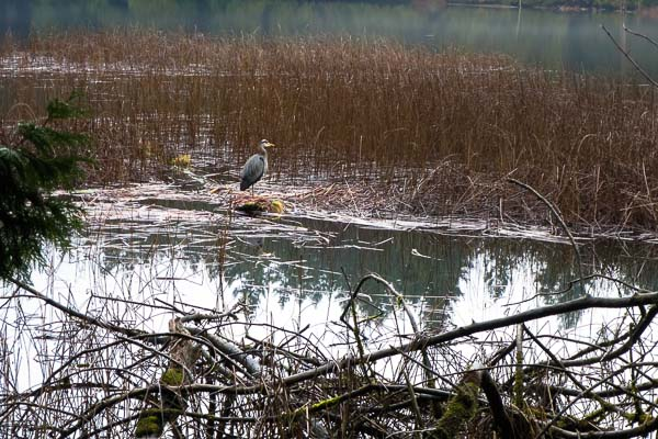 Great blue heron at Killarney Lake, Bowen Island