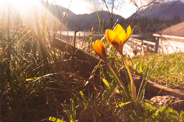 Yellow crocuses blooming on Bowen Island