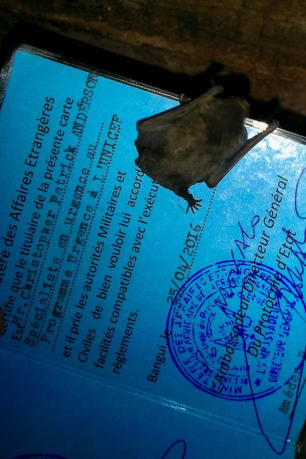 Baby bat on my diplomatic card, Bangui