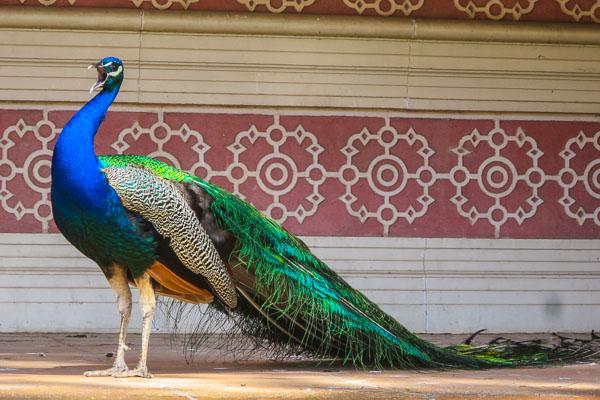 Peacock in Real Jardín Botánico de Madrid
